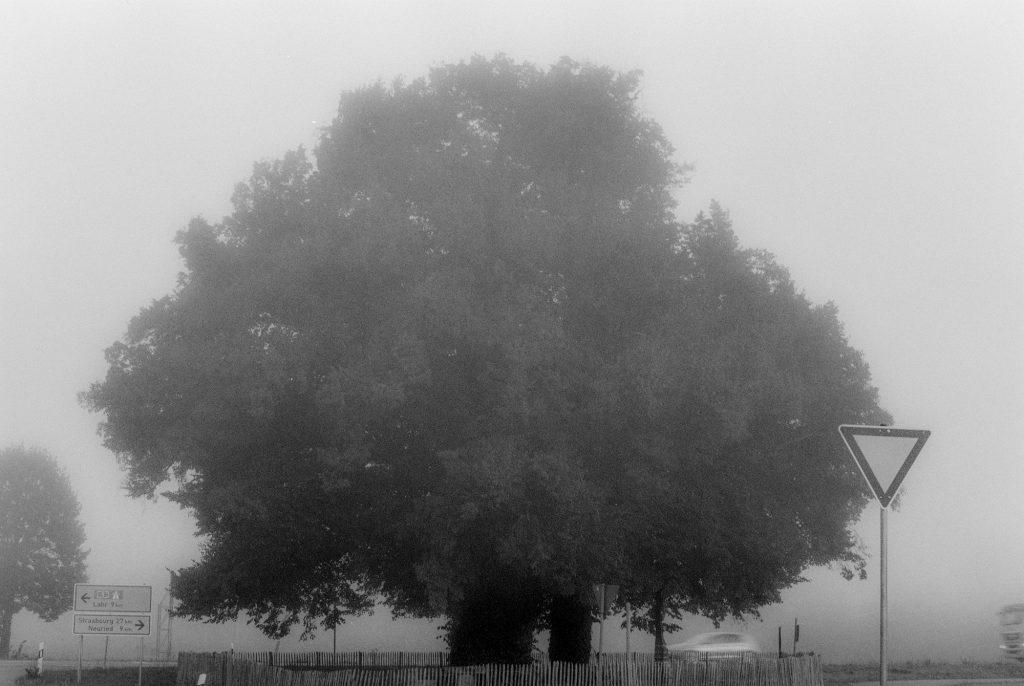 Linde im Nebel - nicht bearbeitet- Ilford FP4 Plus 125 ASA